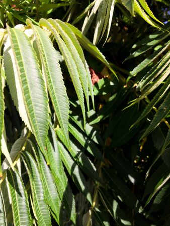 Green tropical background large exotic leaves. tropical plant foliage texture, large palm leaf nature background