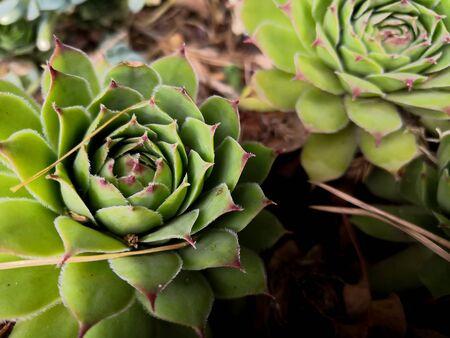 Flowers succulents background. Cactus and Succulent Echeveria