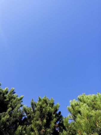 Blue spruce on blue sky background. Clear sunny windless day. Branches of blue spruce play with flowers in bright sunlight. Clear blue sky without clouds. Lush green pine tree. Фото со стока