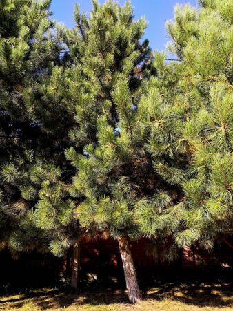 Beautiful lush green pine trees autumn background. Background - pine tree. Texture fluffy green spruce branches with needles.