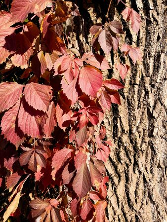 Green and red grape leaves brown tree bark backdrop, colorful foliage texture background close up, autumn or summer design, copy space, bright color floral pattern, Parthenocissus or Virginia creeper climbing plant Фото со стока