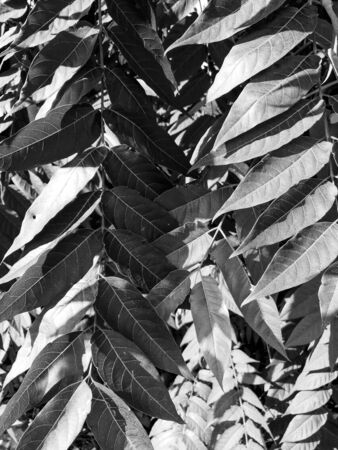 Abstract Shadows, blurred background of gray leaves and natural trees that reflect concrete walls, fallen branches on white wall surfaces for blurred backgrounds and black and white wallpapers.