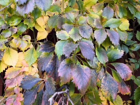Green yellow grape leaves backdrop, colorful foliage texture background close up, autumn or summer design, copy space, bright color floral pattern, Parthenocissus or Virginia creeper climbing plant