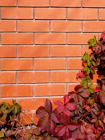 Beautyful ivy leaves autumn red green foliage natural floral plant and red brick fence in sunlight Background Фото со стока