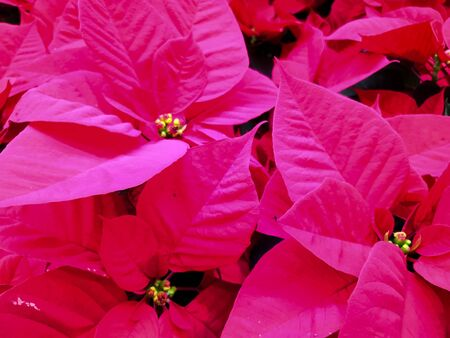 The poinsettia red flower, The Flower of the Christmas, red Christmas background.