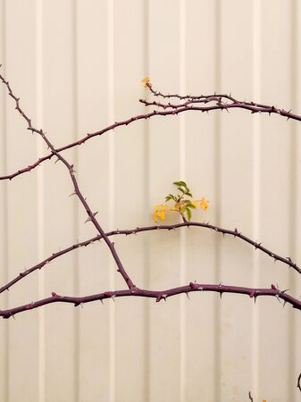 Branches with thorns of wild rose, acacia spikes on a background of white metal fence