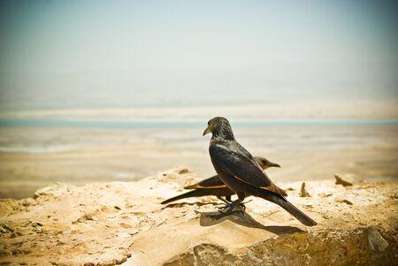 masada: Starling at Masada and view on Dead sea, Israel