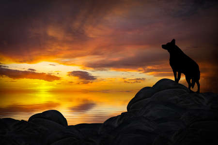 Wolf Howling in the Sunset Stock Photo
