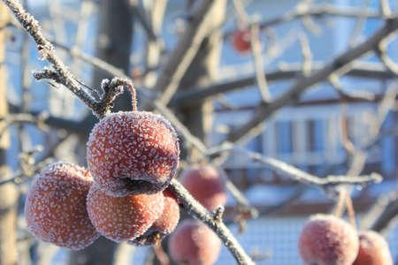 Frozen Crabapples Banco de Imagens