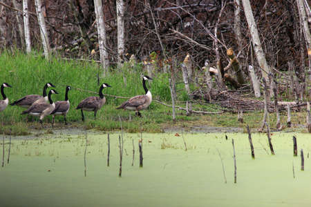 canadian geese: Canadian Geese