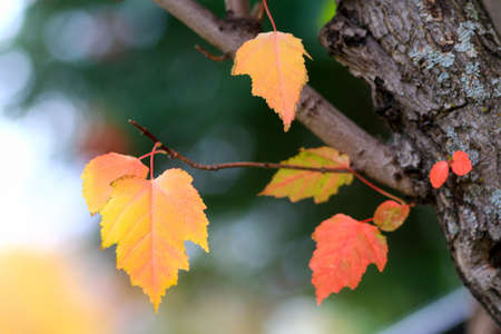 Colorful autumn leaves hanging from a maple tree Stock Photo