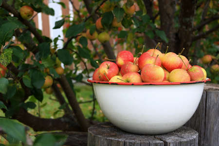 crab apple tree: Delicious organic crabapples in an antique bowl under a crababble tree