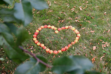 crab apple tree: Crabapples placed in a heart shape in the grass framed by apple tree leaves Stock Photo