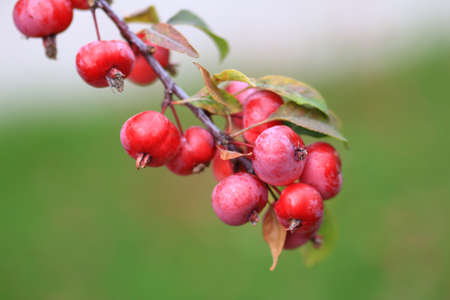 Delicious organic crabapples hanging from an apple te