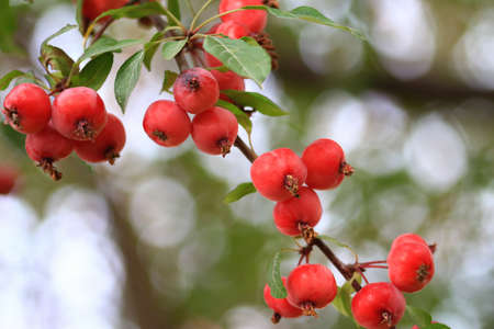 crab apple tree: Delicious organic crabapples hanging from an apple te