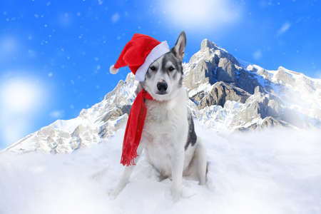 Malamute dog sitting in the snow in front of mountains in Banff, Alberta wearing a santa hat and scarf Standard-Bild - 117299687