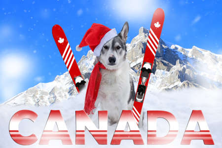 Malamute dog sitting in the snow in front of mountains in Banff, Alberta wearing a santa hat and scarf Standard-Bild - 117299692