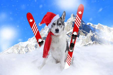 Malamute dog sitting in the snow in front of mountains in Banff, Alberta wearing a santa hat and scarf Standard-Bild - 117299693
