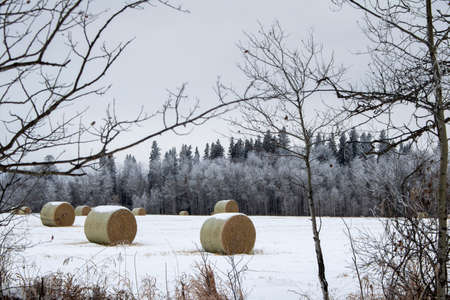 Snow covered round bales of hay in a farmers field Standard-Bild - 117299980