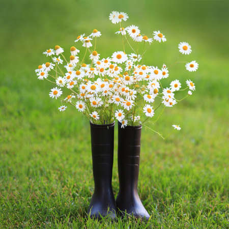 Rubber boots filled with chamomile flowers on summer grass