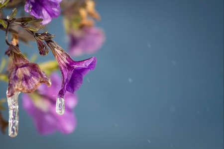 Icicles hanging from a purple calibrachoa flower bloom
