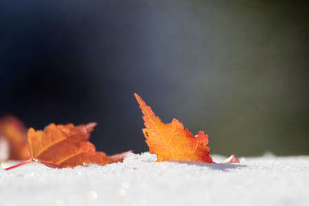 Colorful autumn leaves in fresh winter snow
