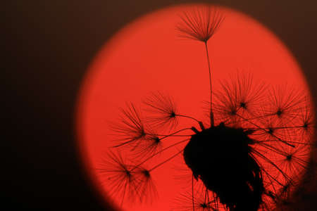 Dandelion silhoutted by a red sunset