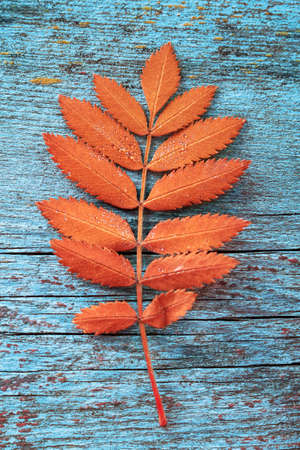 Autumn orange leaf from a mountian ash tree on a rustic blue wood background Archivio Fotografico