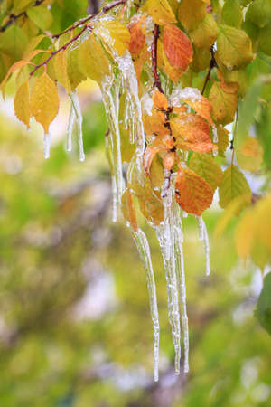 Icicles hanging from autumn leaves of an almond bush