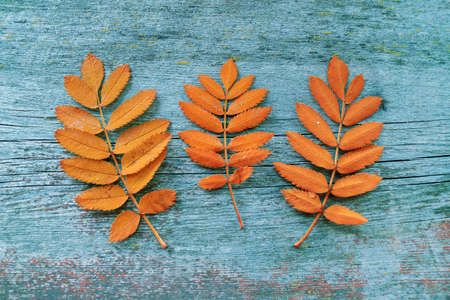 Colorful autumn leaves captured from above top view, flat lay. Rustic blue wooden background.