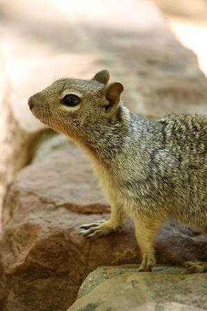 zion: squirrel in Zion National Park