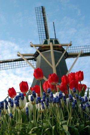 tulips and windmill in Keukenhof photo
