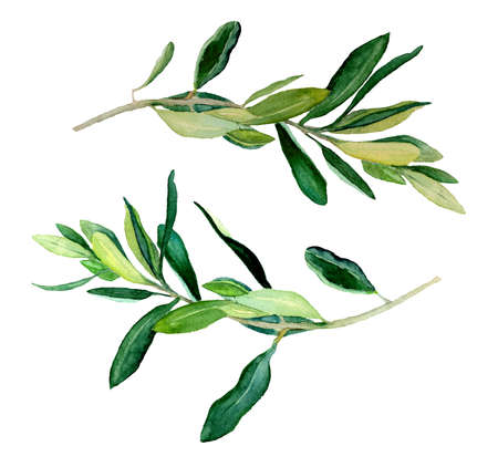 Watercolor two olive branches, raster template on white background. Hand drawn watercolor illustration.