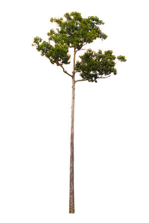 tall tree: tall tree on white background, isolated