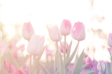 pink tulips close up blooming in spring garden with sun flare background, morning sunlight Stock Photo