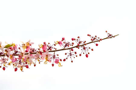 pink and white shower tree flower or horse cassia on white background