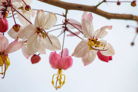 leguminosae: pink and white shower tree flower or horse cassia close-up