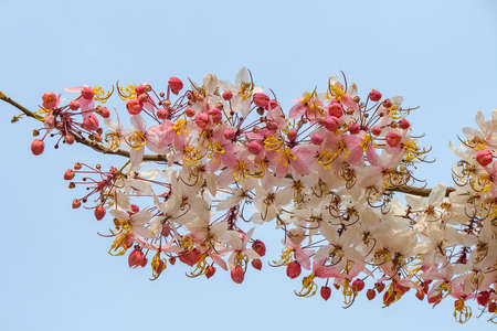 leguminosae: pink and white shower tree flower or horse cassia Stock Photo
