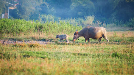 buffalo grass: mom and baby buffalo in the grass field