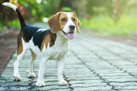 beagle puppy standing on the walkway in public park with sunlight Stock Photo