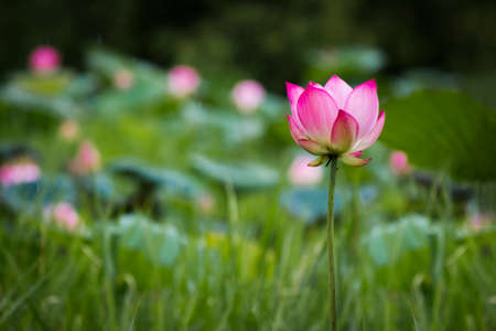 abstract dark single pink lotus, soft focus Stock Photo