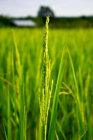 green rice soft focuse with rice field background