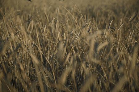 gray rye field
