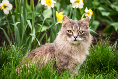 Street cat in  flower bed. Gray fluffy cat is sitting in the green grass. Stock Photo