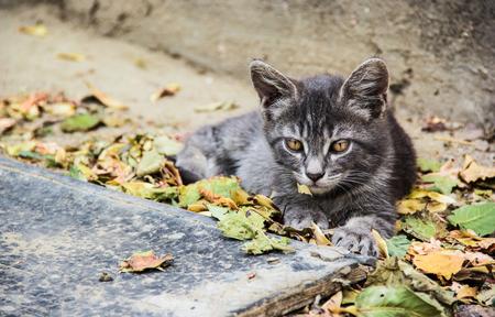 Gray cat in fallen leaves. Gray kitten Stock Photo