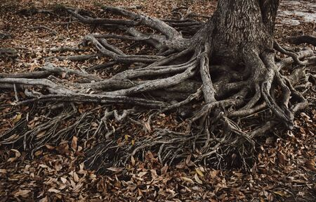 Roots of an old tree. Old roots and dry leaves. 写真素材