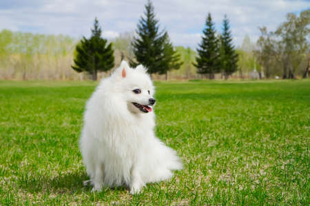 Cute smiling flurty white dog with long fur sitting on fresh green grass in the park, countryside, field or meadow. Purebred Japanese Spitz having fun outdoors and enjoying spring greens.
