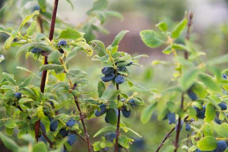 Woodbine bush growing in a garden. Blue honeysuckle berries grown in the village eco farm concept. Stock Photo