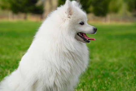 Beautiful fluffy white dog with long fur sitting on green grass. Purebred Japanese Spitz in the park, countryside, field or meadow looking into the distance.