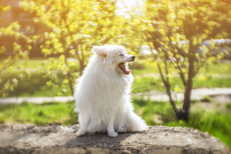 Cheerful relaxed white spitz dog enjoying spring greens and warm sunshine in the park at sunset sunrise golden hour. Purebred Japanese Spitz having fun outdoors, looking peaceful meditative restful.
